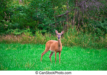 Deer standing in the middle of a green grass field at the ...