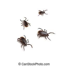 Deer Ticks (Ixodes scapularis) on a white background