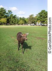 Deer walking in a park