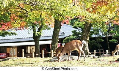 Deer walking on the maple tree