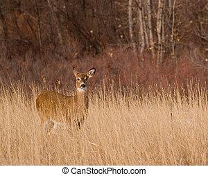 Deer - Wild deer in a Colorado winter