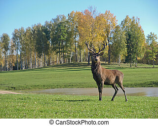 Deer with antlers with forest on the background