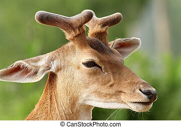 fallow deer stag ( Dama dama ) with growing antlers, portrait