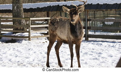 Deer with one horn