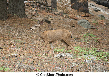 deer Yosemite Nationalpark