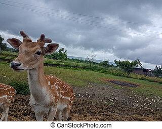 deer young standing in a meadow