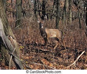 deer/buck posing in the woodlands