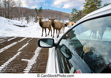 Deers blocking the way at Omega Park in Montebello, Quebec , Canada