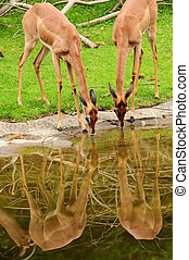 Deers drinking water
