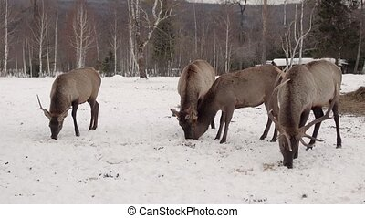 deers eat in the winter forest