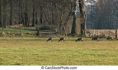 deers grazing  - herd of deers grazing on a meadow