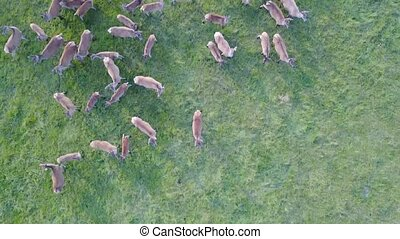 Deers in the pasture from the height of bird flight. Aerial survey. Close up