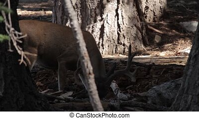 Deers in the Yosemite Nationalpark, United States - Flat and...