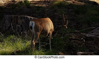 Deers in the Yosemite Nationalpark, United States - Graded...