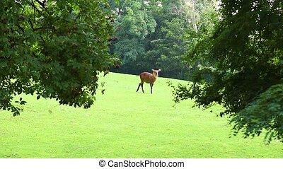Defassa Waterbuck in zoo. Pasture of wild animal on the...