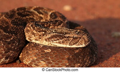 Defensive puff adder - Close-up of a puff adder (Bitis...