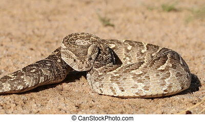 Defensive puff adder - Puff adder (Bitis arietans) in...