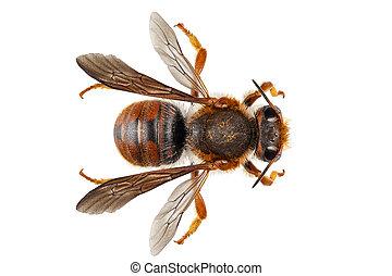 definição, ou, nome, sticticum, oleiro, isolado, pedreiro, alto, dof, field), anthidium, comum, fundo, foco, (depth, branca, abelha, espécie, extremo