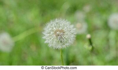 deflorated dandelion