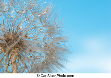 Deflowered flower of a dandelion with dew drops against ...