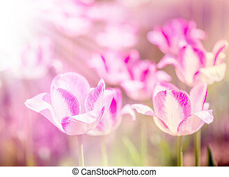Defocus beautiful purple flowers - tulips. Image with bright summer color filters