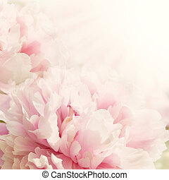 Defocus floral background Closeup view of peony flower with sun light and copy space