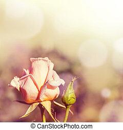 defocus, verwischen, hintergrund, mit, rose.