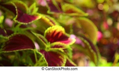 Vibrant red, green leaves of the coleus plant defocused sunlit garden scene, static close up shot.