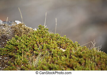 defocused, crowberry, nigrum, hintergrund, empetrum