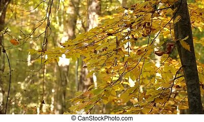 Defoliation in the forest - autumn leaves fall from the...