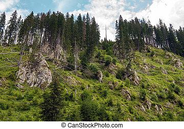 Deforestation in pine forests