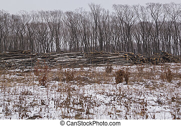 Deforestation. The trunks of trees are stacked in a forest glade cleared from the trees of the forest