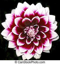 Hunterdon County New Jersey - Purple & White Dehlia - Dahlia Some people spell it both ways!