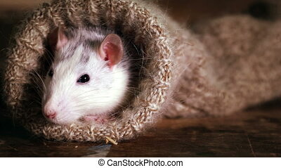dehors, jette coup oeil, rat, chaussette laine, grey-and-...