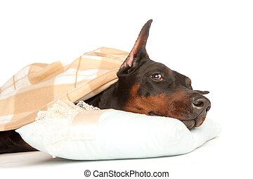 deken, zeer, dog, vrijstaand, ziek, onder, witte