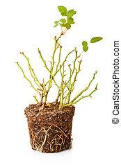 dekorativ, ro, isolerat, buske, bakgrund, vit, rötter