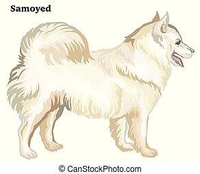 dekorativ, stehende , gefärbt, samoyed, hund, abbildung, vektor, porträt