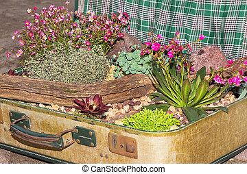 dekorativ, succulents, suitcase., gepflanzt
