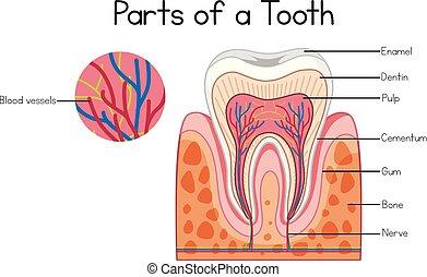 dele, i, en, tand, diagram