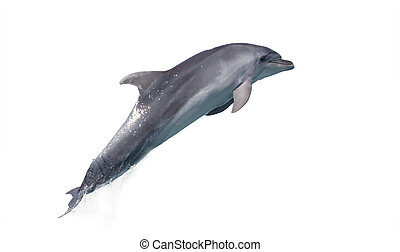 delfín, aislado, él, salto, plano de fondo, afalin, blanco