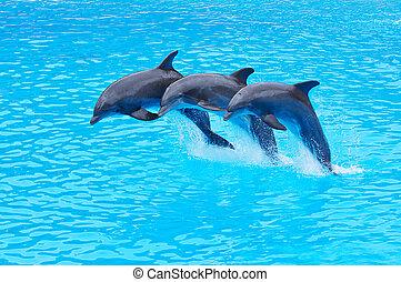 delfiny, truncatus, bottlenose, skaczący, tursiops