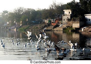 delhi, gaviotas, mañana, temprano, ghat, yamuna, durante, ...