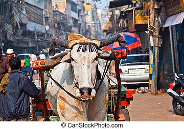 delhi, transport, indien, karren, morgen, früh, ochse