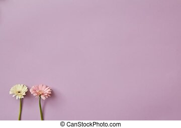 Delicate beautiful pastel colors of gerberas appear and...