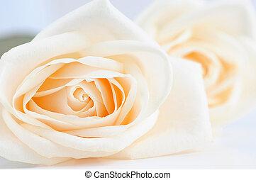 Delicate beige roses