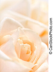 Delicate beige roses - Floral background of two delicate ...