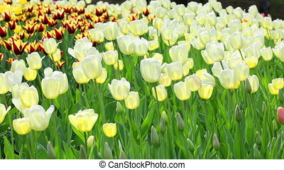 Delicate couloured tulips on summer field