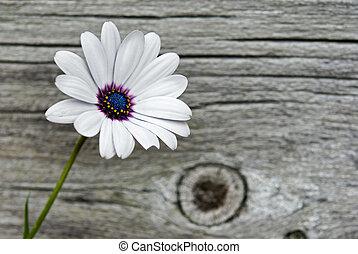 Delicate Daisy - Pretty single daisy on texture barn wood.