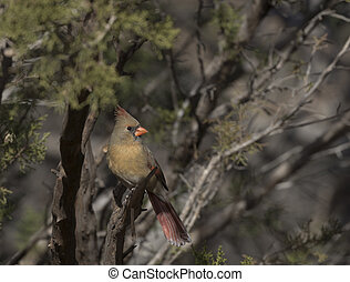 Delicate hues of female cardinal perched in tree