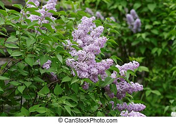 Delicate pink lilac flowers on the bushes